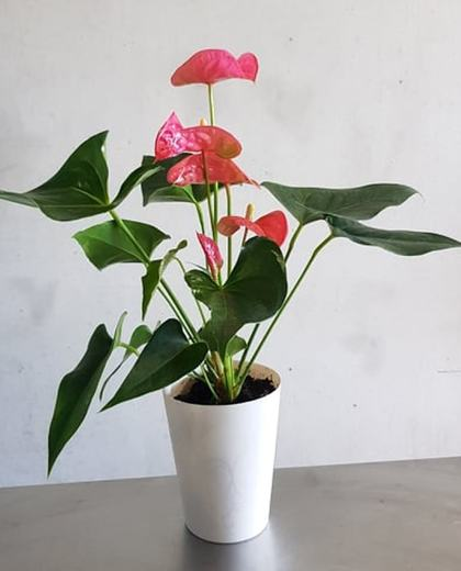 Anthurium indoor house plant - House Plant