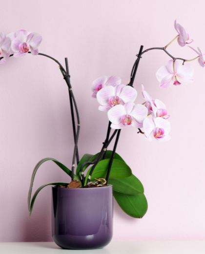 Phalenopsis Orchid - Orchid Plant | Orchid online Auckland | Plants online Auckland